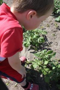"As Sam examined the potato's he found some potato bugs. He was picking them off and squashing them. As he did this I heard him say, ""Stop eating my potato plants you crazy bugs!"" We have planted some marigolds and dill to help generate beneficial insects to eat the potato bugs this year."