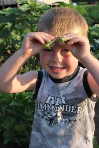 Sugar snap peas a CSA favorite.
