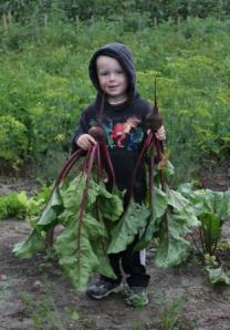 Sam loved pulling these beets. He thought they were huge!