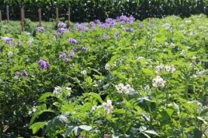The potatoes are in full bloom with a variety of colors. Each variety of potato has a different color bloom. Looking forward to fresh potatoes in the near future.