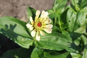 Zinnias are in full bloom. Another round is growing.