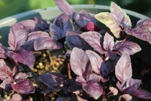 Red Rubin Basil - give it a try. It adds some wonderful color to your dishes.