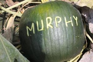 After Steve is done etching the name out, this is what a completed pumpkin looks like. Then we simply wait until they are ready to be harvested.