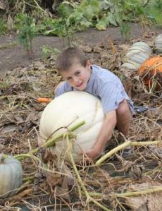 Man did these white pumpkins ever grow this year. The heaviest one weighted in at 60#. We also had a white and green blended pumpkin weight 50#.