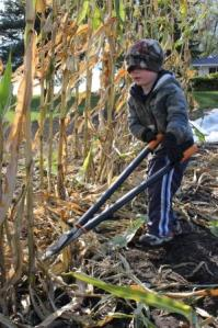 After harvesting the popcorn, Sam wanted to take the lead in cutting down the stalks.