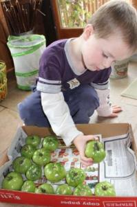 So one of our science experiments includes seeing how many of the green tomatoes ripen. We have put them in a box with some newspaper. Sam wanted to close a few boxes with just a little bit of air flow and the others are open.