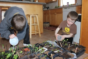 The pots are placed on our heated kitchen floor and the boys are responsible for watering.
