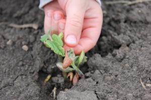 5-27-14 green beans emerging Sam