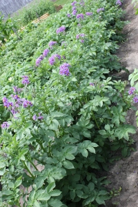 The potatoes are blooming. You will notice that the different varieties have different colors of blooms. They really are pretty. We still are picking potato bugs and trying to manage this pest!