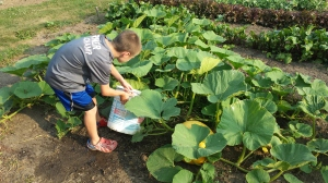 It has been dry and we have been irrigating and watering the different crops. The boys have been watering our Big Moon pumpkins and we also measured them this week. We are watching how much they grow in one week. We'll keep you posted.
