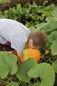 We measured the Big Moon pumpkins and discovered they had grown between 2-3 inches this past week.