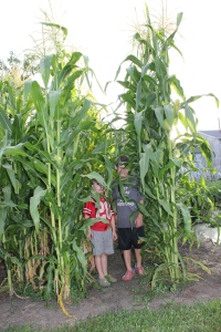 The corn has gotten so tall. The boys are standing by the blue popcorn.