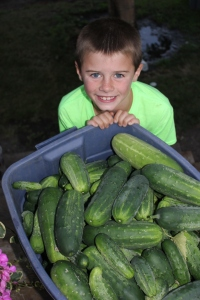 We were curious as to how much the cucumbers would weight. The cucumbers weighed 95 pounds.