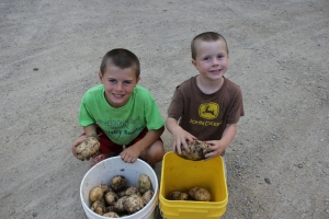 We have started the potato harvest and some of them are huge. It is like a treasure hunt in the soil.