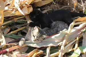 The cats have been quite the entertainment. I caught them playing in the corn stalks.