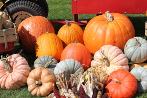 A variety of pumpkins to choose from.
