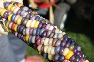 These kernels had a unique curve pattern going around the cob of the plant. Beautiful color as well!