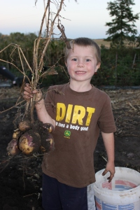 Sam is holding the potato plant. Potatoes grow under the ground and are a tuber. Sometimes when you pull up the dead plant the potatoes come out attached to the plant like you see here.