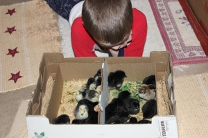 On February 28, we received an email from McMurray Hatchery that our chicks that were to be both our 4-H chickens (Lakenvelders) and our replacement layer hens (Black Stars) had been shipped. At 6:30 a.m. we received a call from the local Post Office saying they were in. The excitement was like Christmas at our house