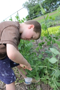 Picking peas isn't the most enjoyable job, but it sure can reap a tasty reward for a job well done.