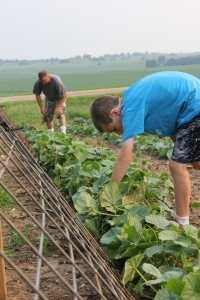 A lot of activity occurred in the garden again this week. One of the activities included the boys putting up a fence for the cucumbers to climb on. This will help to keep the cucumbers cleaner.
