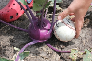 "The boys were using a baseball as they ""measured"" the size of the kohlrabi for harvest."