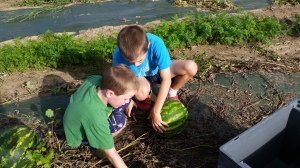 The boys were busy harvesting the remaining melons for this year.