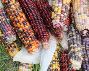 The ornamental corn colors are beautiful.