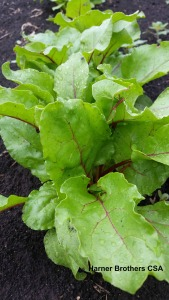 Beet leaves -good in your salad greens. Beets will be forthcoming later in June.