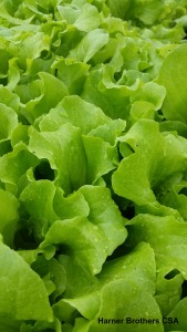 Black Seeded Simpson Lettuce - love eating this in salads and on sandwiches.