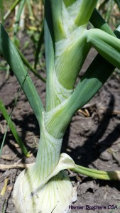White onion - love the braid pattern on their stems.