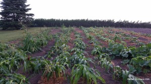 The sweet corn was flat after last night's storm. We are not real hopeful of pollination occurring from the tassel to the silks on the ears of corn after last nights storm. In the background you will see our neighbors field corn. What this photo does not show, is that it to was affected. While the genetics on the field corn plants have been selected to withstand high winds, only time will tell what the end harvests will look like for all of these crops. We are thankful that we did not have hail or tornadoes last night.