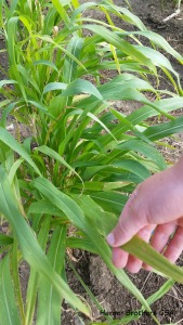 broom corn leaf...