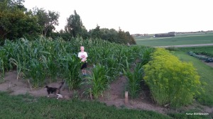 Great news. All types of corn are standing back up on their own. When I refer to types I mean: sweet corn, field corn, ornamental corn, broom corn and popcorn. Corn genetics are an amazing thing. Thanks to plant scientists these plant varieties were able to withstand that strong wind and straighten back up to keep on growing. I think it also helped that we were all praying for this to happen. God is good!