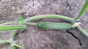 Take a look at the spikes on the stem and the cucumber itself.