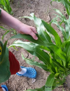 The ornamental corn leaf feels different then the...