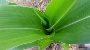 This is a photo of the top of the corn plant last week.