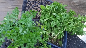 Parsley and Basil are available for you to take home. Freeze or dry it to use in your cooking throughout the year.