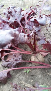 Love the color of the Bulls Blood Beets.