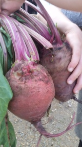 These were some overgrown beets.