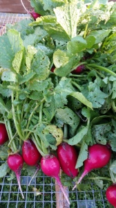 Cherry Belle Radishes in your boxes this week. Love the color!
