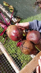 These were some large beets! Larger than the boys' hands.